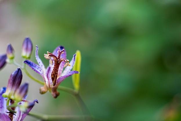 Photos: 庭のホトトギス【Micro-Nikkor 55mm f3.5:f=3.5】3_2