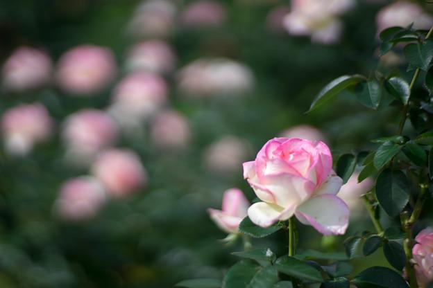 神代植物公園【秋バラ:プリンセス・ドゥ・モナコ】1_85mm_f=1.4