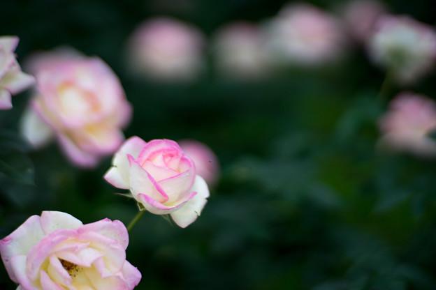神代植物公園【秋バラ:プリンセス・ドゥ・モナコ】2_85mm_f=1.4