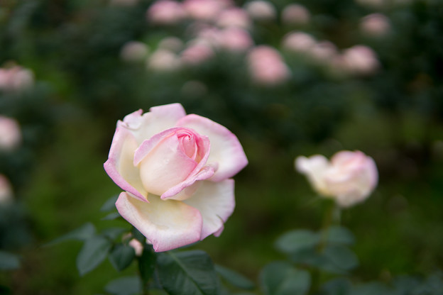 神代植物公園【秋バラ:プリンセス・ドゥ・モナコ】3_30mm_f=1.4