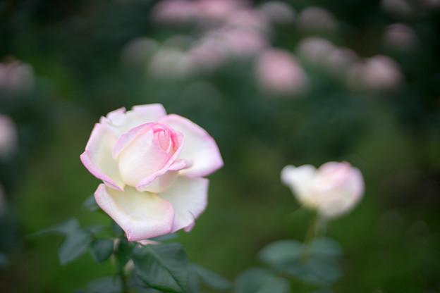 神代植物公園【秋バラ:プリンセス・ドゥ・モナコ】4_50mm_f=1.4