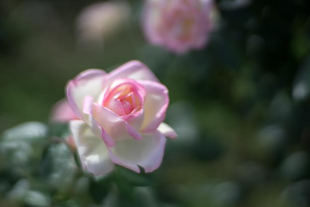 神代植物公園【秋バラ:プリンセス・ドゥ・モナコ】5_85mm_f=1.4