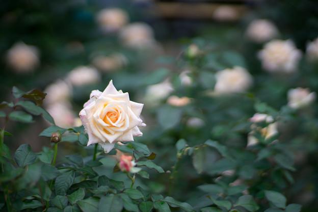 神代植物公園【秋バラ:バニラ・パフューム】1_85mm_f=1.4