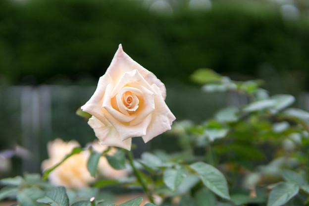 神代植物公園【秋バラ:バニラ・パフューム】2_30mm_f=1.4