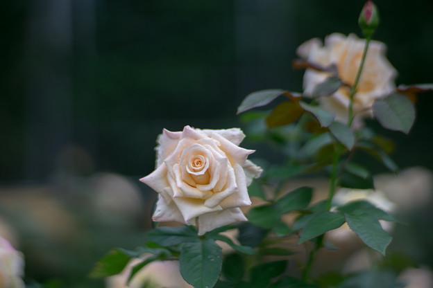 神代植物公園【秋バラ:バニラ・パフューム】3_85mm_f=1.4