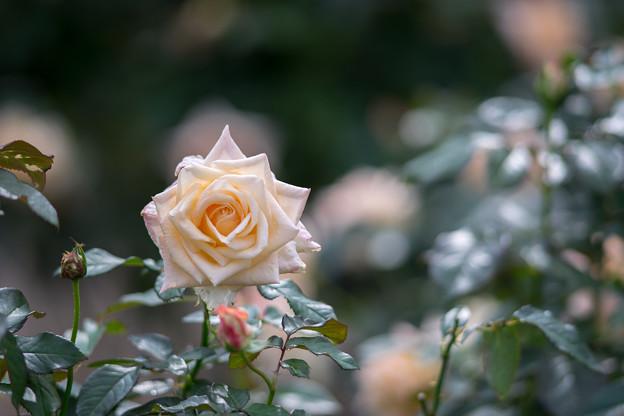 神代植物公園【秋バラ:バニラ・パフューム】4_180mm_f=2.8