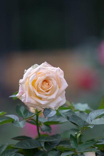 神代植物公園【秋バラ:バニラ・パフューム】5_180mm_f=2.8