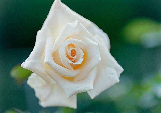 神代植物公園【秋バラ:バニラ・パフューム】6_105mm_f=2.8銀塩