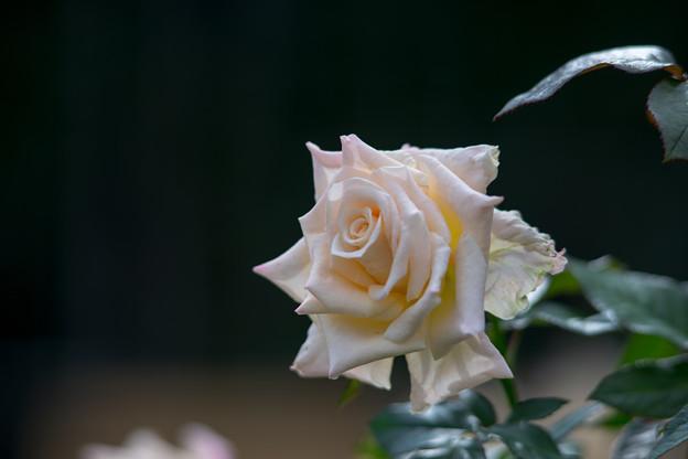 神代植物公園【秋バラ:バニラ・パフューム】7_180mm_f=2.8