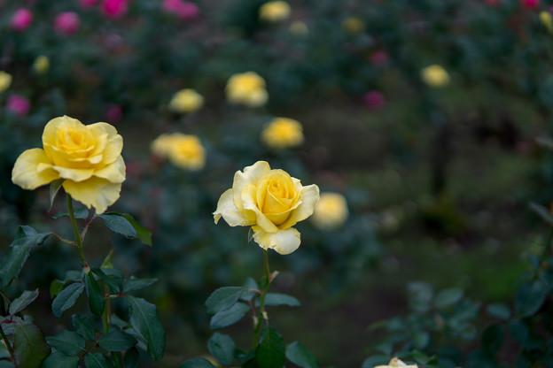 神代植物公園【秋バラ:ゴールデン・メダイヨン】1_30mm_f=1.4