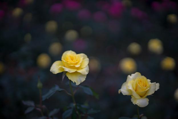 神代植物公園【秋バラ:ゴールデン・メダイヨン】2_50mm_f=1.4