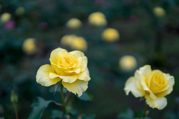 神代植物公園【秋バラ:ゴールデン・メダイヨン】3_30mm_f=1.4