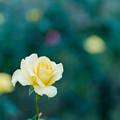 神代植物公園【秋バラ:ゴールデン・メダイヨン】4_105mm_f=2.8銀塩