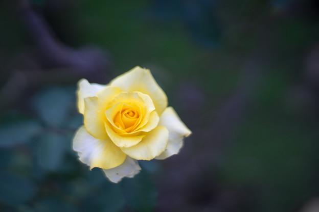 神代植物公園【秋バラ:ゴールデン・メダイヨン】5_85mm_f=1.4