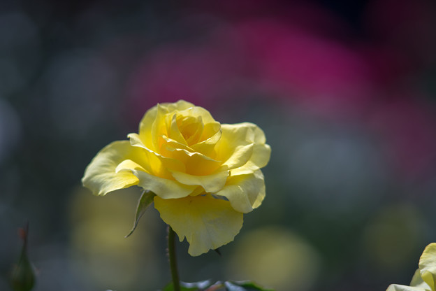 神代植物公園【秋バラ:ゴールデン・メダイヨン】6_180mm_f=2.8