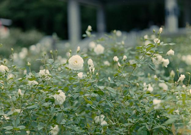 神代植物公園【秋バラ:アイスバーグ】1_105mm_f=2.8銀塩