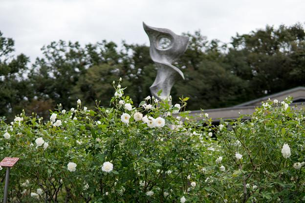 神代植物公園【秋バラ:アイスバーグ】2_30mm_f=1.4