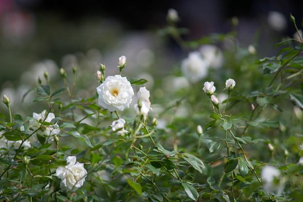 神代植物公園【秋バラ:アイスバーグ】3_180mm_f=2.8