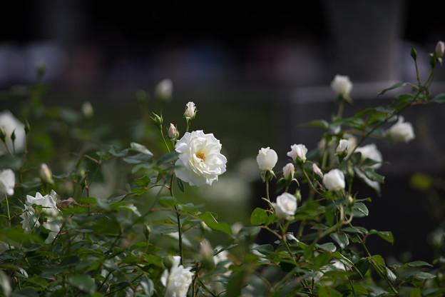 神代植物公園【秋バラ:アイスバーグ】4_180mm_f=2.8