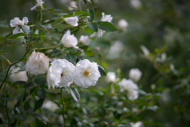 神代植物公園【秋バラ:アイスバーグ】5_180mm_f=2.8