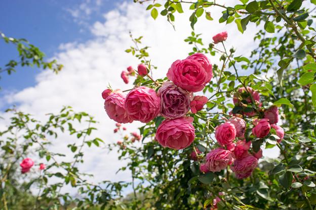神代植物公園【秋バラ:ポンポネッラ】4_28mm_f=8.0