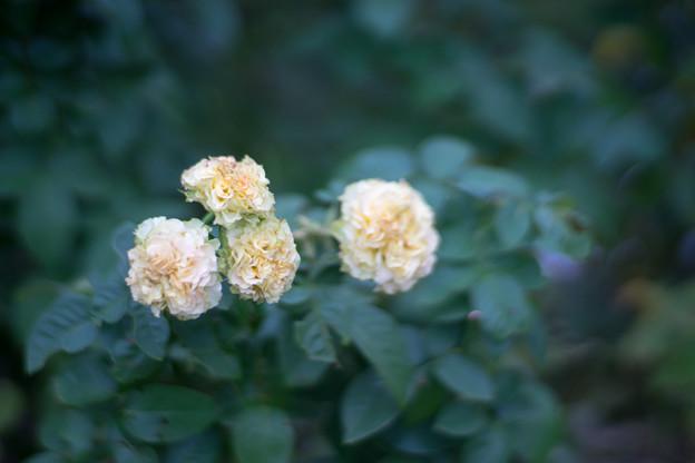神代植物公園【秋バラ:エメラルド・アイル】2_85mm_f=1.4