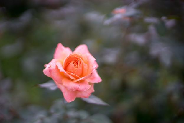 神代植物公園【秋バラ:シカゴ・ピース】1_50mm_f=1.4