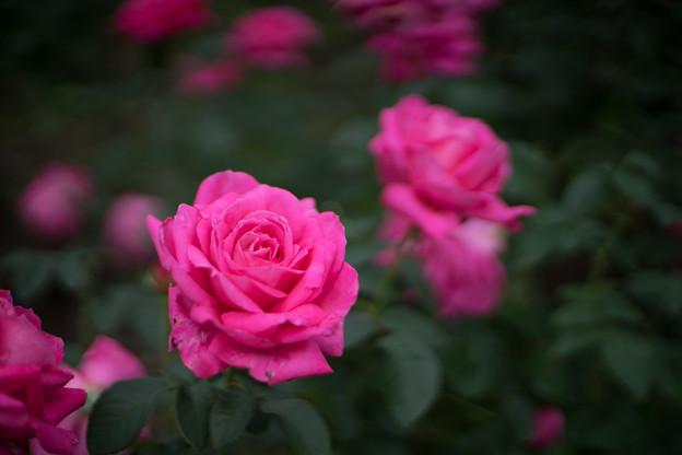 神代植物公園【秋バラ:マリア・カラス】3_50mm_f=1.4