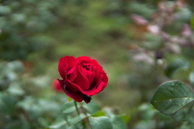 神代植物公園【秋バラ:サムライ】1_30mm_f=1.4