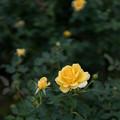 神代植物公園【秋バラ:ゴールド・バニー】1_30mm_f=1.4