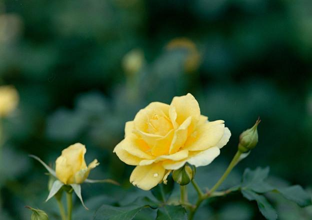 神代植物公園【秋バラ:ゴールド・バニー】2_105mm_f=2.8銀塩