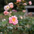 神代植物公園【秋バラ:ファンファーレ】1_30mm_f=1.4