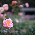 神代植物公園【秋バラ:ファンファーレ】2_50mm_f=1.4