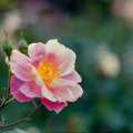 神代植物公園【秋バラ:ファンファーレ】3_105mm_f=2.8銀塩