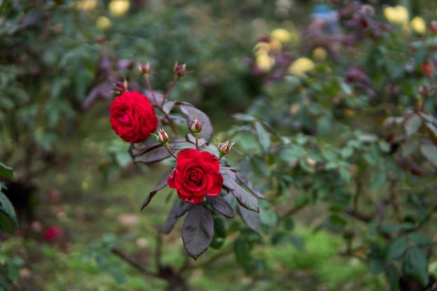 神代植物公園【秋バラ:ユーロピアーナ】1_30mm_f=1.4
