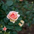 神代植物公園【秋バラ:フレグラント・アプリコット】1_30mm_f=1.4