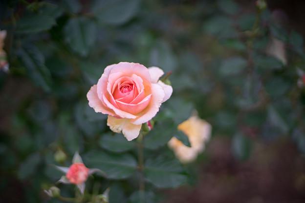 神代植物公園【秋バラ:フレグラント・アプリコット】2_50mm_f=1.4