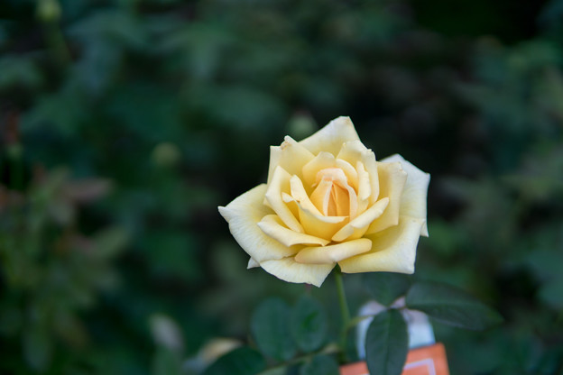 神代植物公園【秋バラ:天津乙女】1_30mm_f=1.4