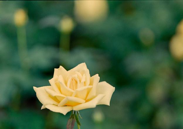 神代植物公園【秋バラ:天津乙女】2_105mm_f=2.8銀塩