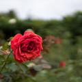 神代植物公園【秋バラ:ビーバ】1_30mm_f=1.4