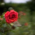 神代植物公園【秋バラ:ビーバ】2_50mm_f=1.4