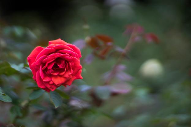 神代植物公園【秋バラ:ビーバ】3_85mm_f=1.4