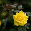 神代植物公園【秋バラ:フリージア】1_30mm_f=1.4