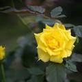 神代植物公園【秋バラ:フリージア】2_50mm_f=1.4