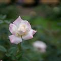 神代植物公園【秋バラ:夕霧】1_30mm_f=1.4