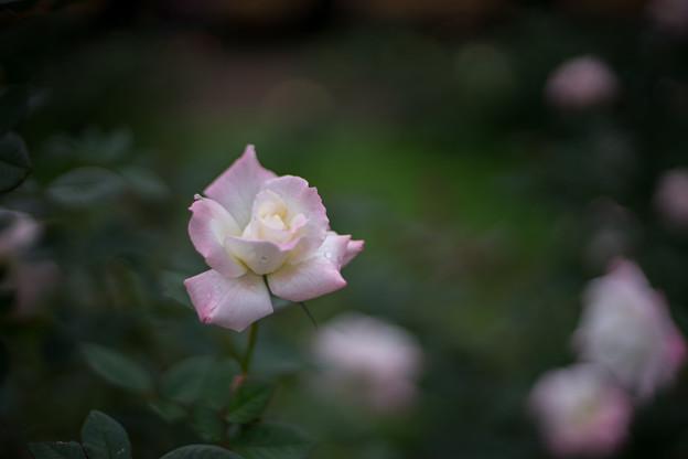 神代植物公園【秋バラ:夕霧】2_50mm_f=1.4