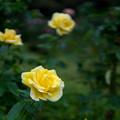 神代植物公園【秋バラ:ドフトゴールド】30mm_f=1.4