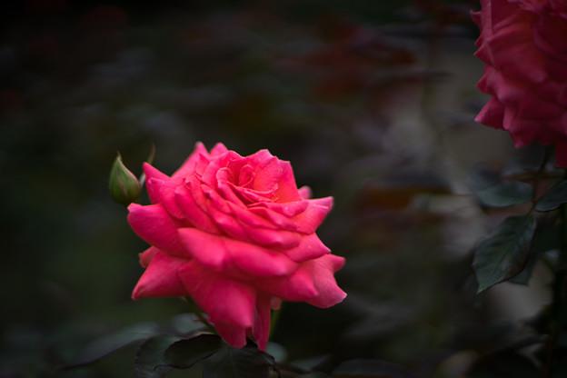 神代植物公園【秋バラ:ポリネシアン・サンセット】50mm_f=1.4