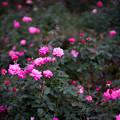 神代植物公園【秋バラ:プリンセス・チチブ】50mm_f=1.4