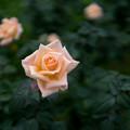神代植物公園【秋バラ:サマー・ドリーム】30mm_f=1.4